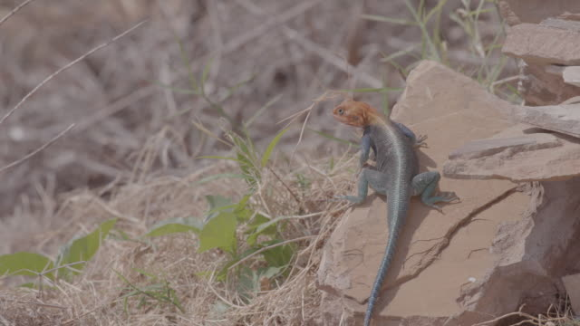 lizard / kenya, africa - arid stock videos & royalty-free footage