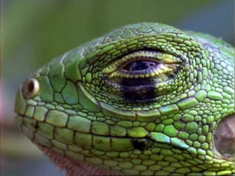 Lizard, CU lizard's head, opens eye;; Panama;