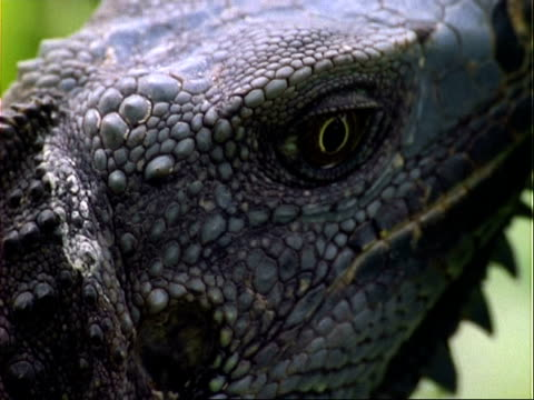 lizard, cu lizard's head, pulls out to lizard amongst foliage;; panama; - tierhaut stock-videos und b-roll-filmmaterial