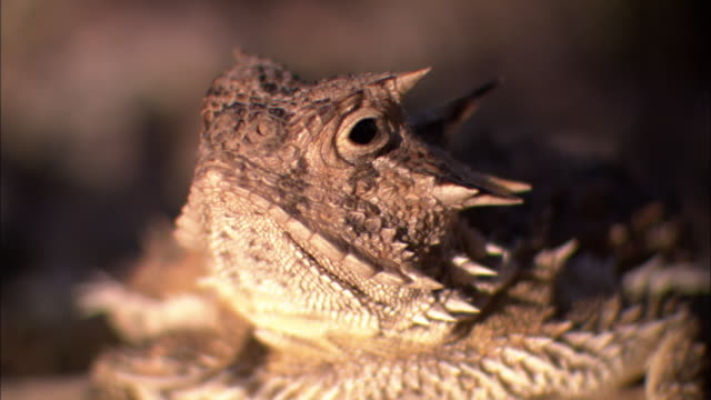 A lizard looks around guardedly.