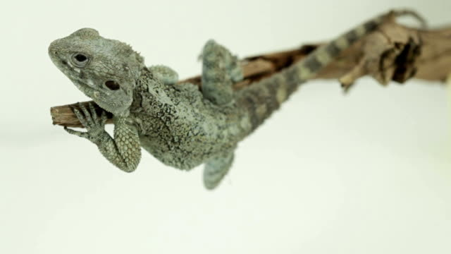 vídeos de stock e filmes b-roll de lagarto sobre um ramo - olhar de lado