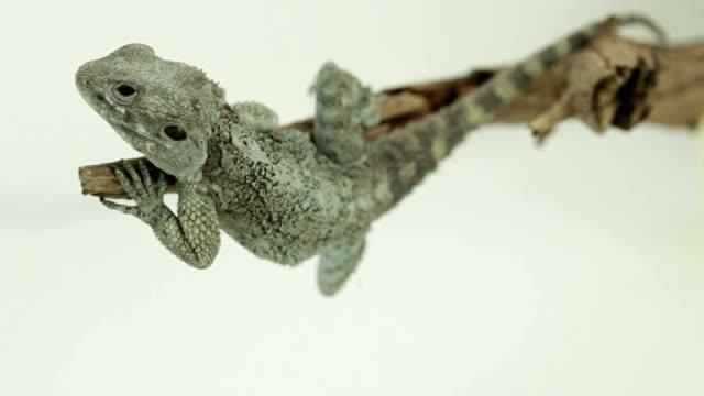lizard on a branch - sideways glance stock videos & royalty-free footage