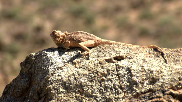 lizard on a rock/ naankuse/ namibia - lizard stock videos and b-roll footage