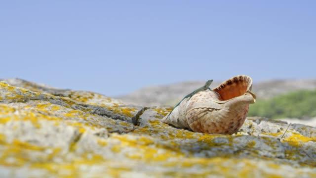 vídeos de stock, filmes e b-roll de lagarto na concha e rochas ensolaradas - concha parte do corpo animal