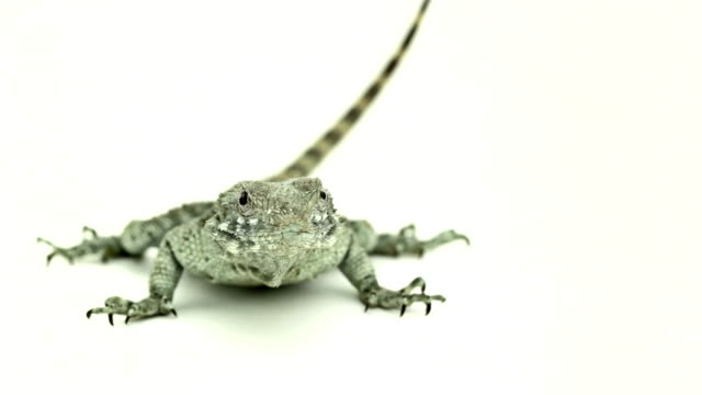 lizard on the alert - sideways glance stock videos & royalty-free footage