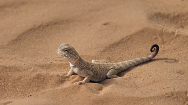 lizard on the sand. toadhead agama (phrynocephalus interscapularis). - sandig stock-videos und b-roll-filmmaterial