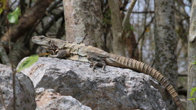 cu lizard resting on stone / kabah, yucatan, mexico - kabah stock videos and b-roll footage