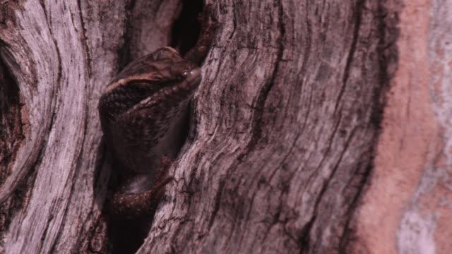 vidéos et rushes de lizard retreats into tree trunk crevice, zimbabwe - se cacher