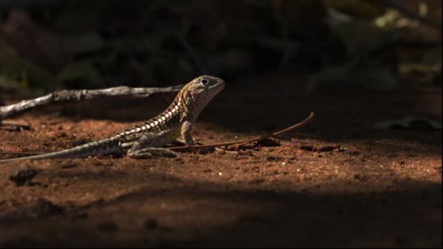 lizard (chalarodon madagascariensis) runs away, berenty, madagascar - reptile stock-videos und b-roll-filmmaterial
