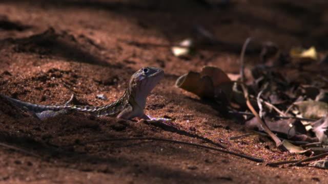 Lizard (Chalarodon madagascariensis) runs away, Berenty, Madagascar