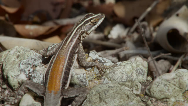 """lizard (tropidurus helenae) sits on rock, looks around, then runs away."" - lizard stock videos and b-roll footage"