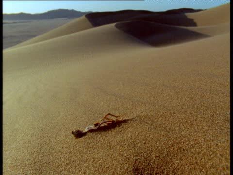Lizard skeleton in shifting desert sands