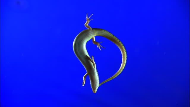 a  lizard twists its body as it lies on a blue screen. - belly stock videos & royalty-free footage