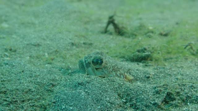 vídeos y material grabado en eventos de stock de lizardfish hiding in sand - rascacio