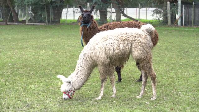 lama- und alpakaweiden auf der hofwiese - tierisches verhalten stock-videos und b-roll-filmmaterial