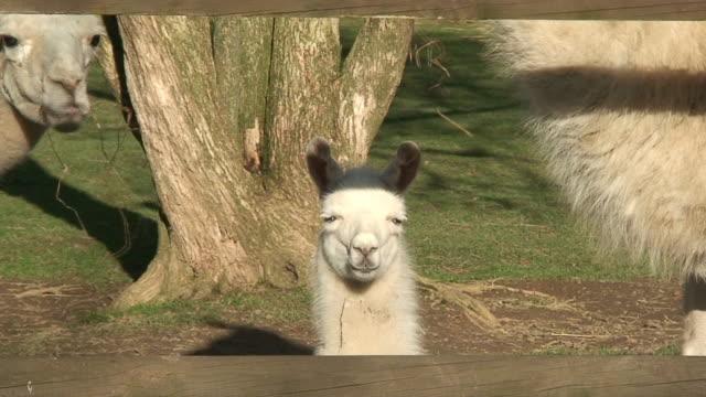 Llama child between his parents