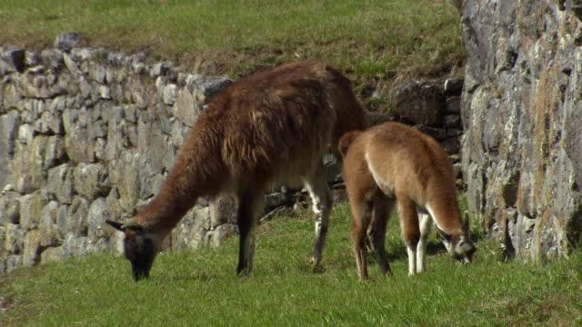 stockvideo's en b-roll-footage met llama eating grass in machu picchu, peru - vier dieren