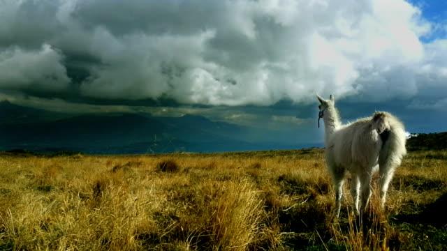 llama en el valle pichincha - ecuador stock videos & royalty-free footage