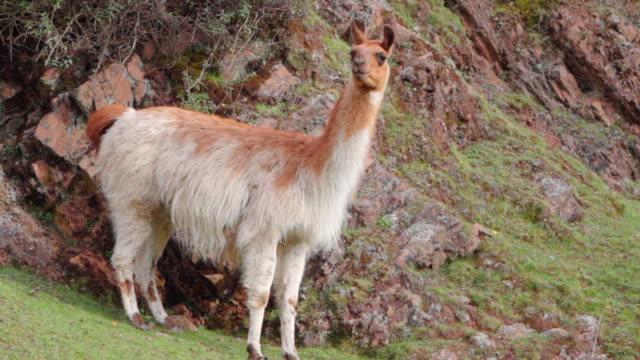 llama grazing on mountain, mammal standing on hill - cusco, peru - 草食性点の映像素材/bロール