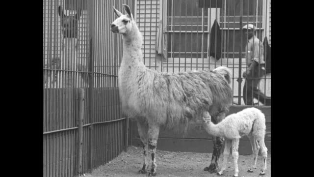 llama in barred cage, baby llama nurses, men stand outside looking in / llama face and neck / llama looks out bars / zookeeper with baby llama, which... - セントラルパーク動物園点の映像素材/bロール