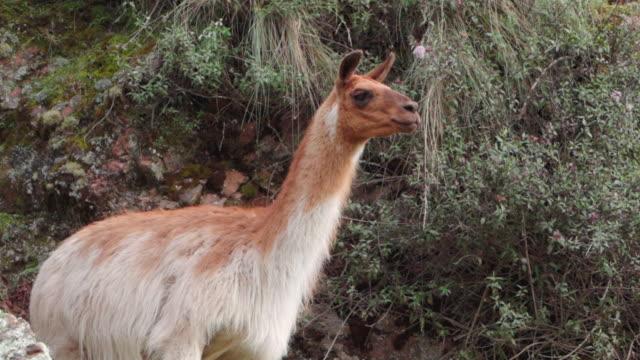 llama looking away while standing on mountain, mammal eating plants - cusco, peru - växtätare bildbanksvideor och videomaterial från bakom kulisserna