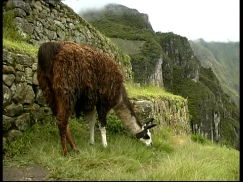 llama cu, under machu picchu, peru - grasen stock-videos und b-roll-filmmaterial