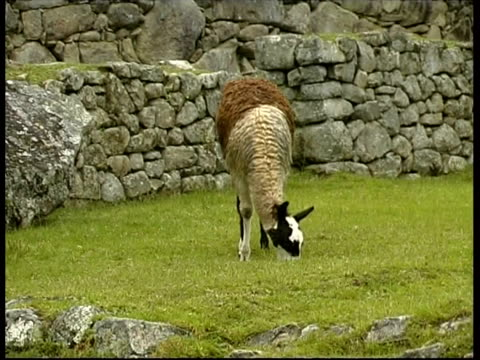 llamas eating on terrace, machu picchu, cu, peru - grasen stock-videos und b-roll-filmmaterial
