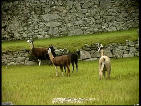 llamas herd near ruins, machu picchu, ms, peru - vier tiere stock-videos und b-roll-filmmaterial