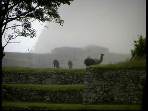 Llamas on terrace, Machu Picchu, MS, Peru