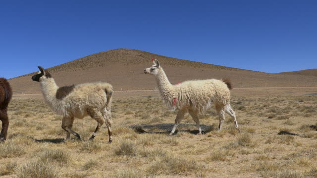 stockvideo's en b-roll-footage met lama's walking - bolivia