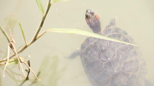 vídeos de stock e filmes b-roll de llittle tartarugas swim por baixo do libélula. - lamaçal