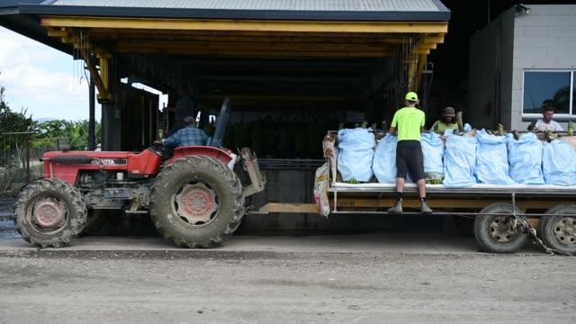 vídeos de stock, filmes e b-roll de a loaded tractor carrying harvested bananas move past bananas in bunch protection covers at the liverpool river bananas farm near tully queensland... - banana de são tomé