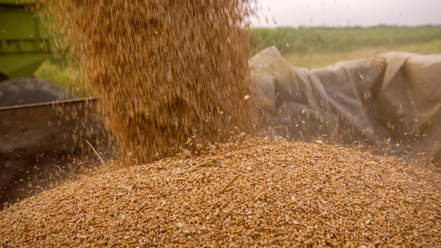 slo mo loading wheat into trailer - wheat stock videos and b-roll footage
