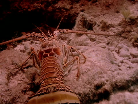 vídeos de stock e filmes b-roll de a lobster as it walks along reef and backs into a hole - lagosta