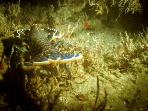 vídeos y material grabado en eventos de stock de lobster at night on wreck walking around, ws - lecho del mar
