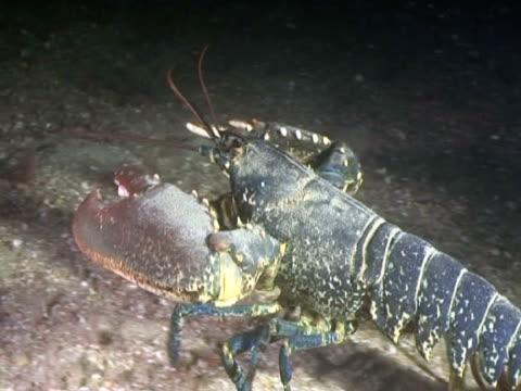 vídeos y material grabado en eventos de stock de lobster at night - lecho del mar