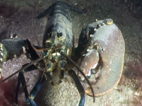 lobster at night - lobster stock videos & royalty-free footage