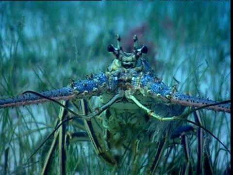 Lobster backs away from camera, Bimini Islands