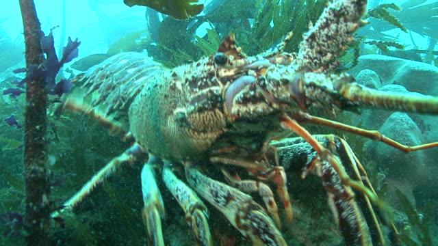 stockvideo's en b-roll-footage met lobster backs up reef. channel islands, british waters - kanaaleilanden engeland