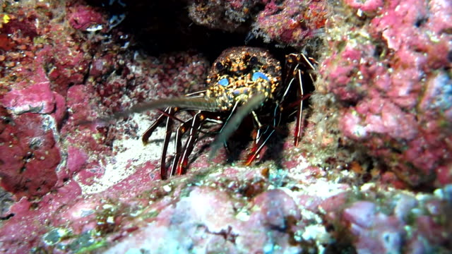 lobster close up amongst the coral reef, cocos island, costa rica. - lobster stock videos and b-roll footage