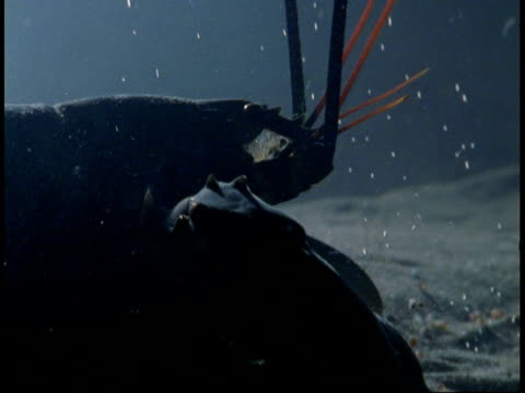 a lobster crawls along a sandy seabed. - animal antenna stock videos & royalty-free footage