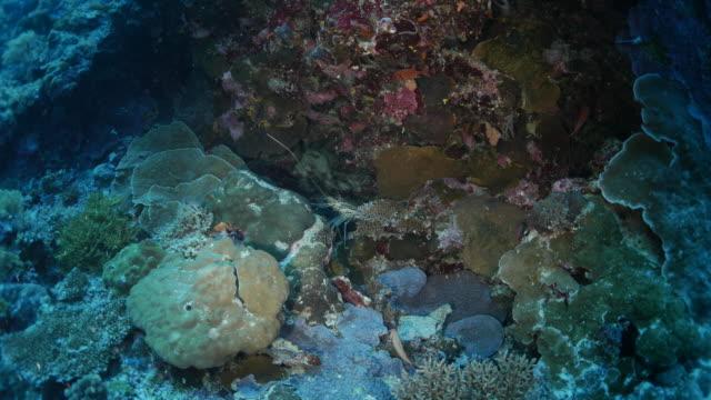 stockvideo's en b-roll-footage met kreeft in koraalrif - kreeft schaaldier