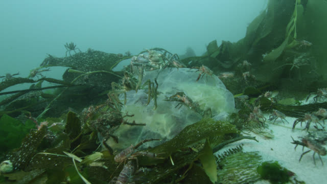 lobster krill and spider crabs feed on dead jellyfish - kelp stock videos & royalty-free footage