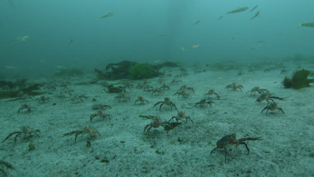 lobster krill congregate on sea floor, falkland islands - lobster stock videos & royalty-free footage