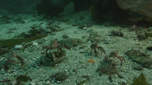 lobster krill filter feed on sea floor, falkland islands - invertebrate stock videos & royalty-free footage