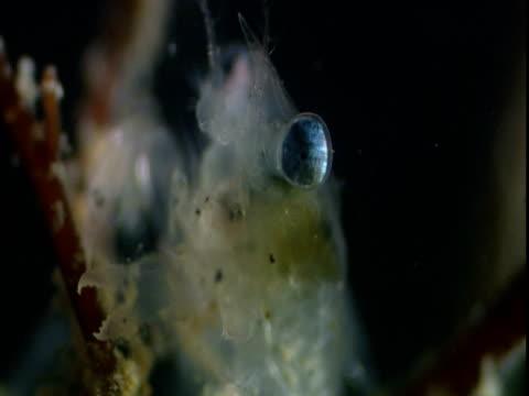 lobster larva amongst aquatic vegetation - eucariota video stock e b–roll