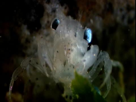 a lobster larva feds on kelp. - kelp stock-videos und b-roll-filmmaterial