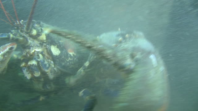 Lobster (Homarus gammarus) masive, attacks, on wreck, English channel, UK