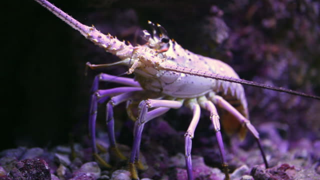 ms lobster moving slowly in aquarium / playa del carmen, quintana roo, mexico - lobster stock videos & royalty-free footage