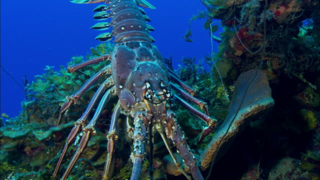 lobster on reef, eleuthera, bahamas, north atlantic ocean  - lobster stock videos & royalty-free footage